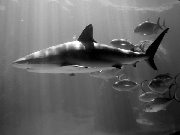 shark-and-fish_9041_600x450.jpg