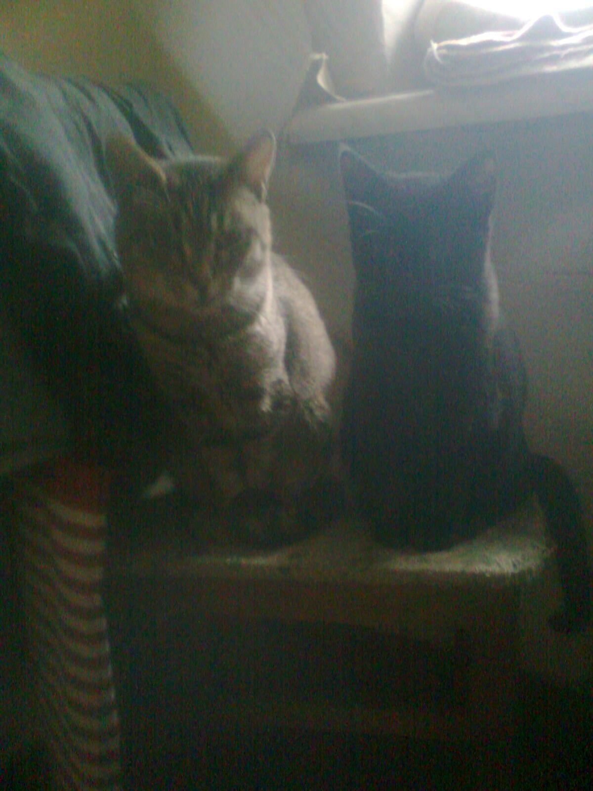 dvi katės